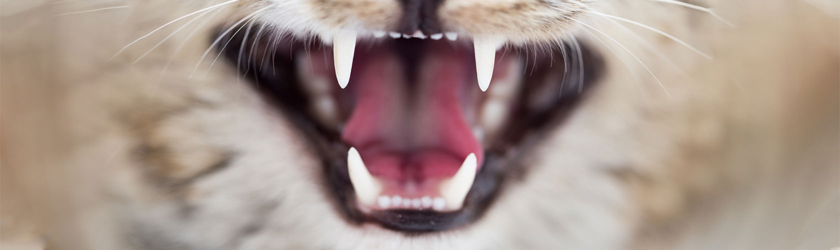 open cat's mouth showing teeth