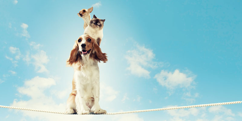 Chihuahua sitting on cat sitting on a dog balancing on a rope
