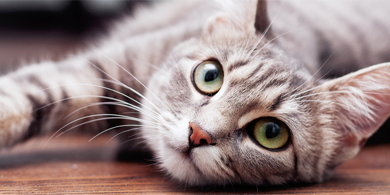 Grey cat with green eyes laying down and looking up